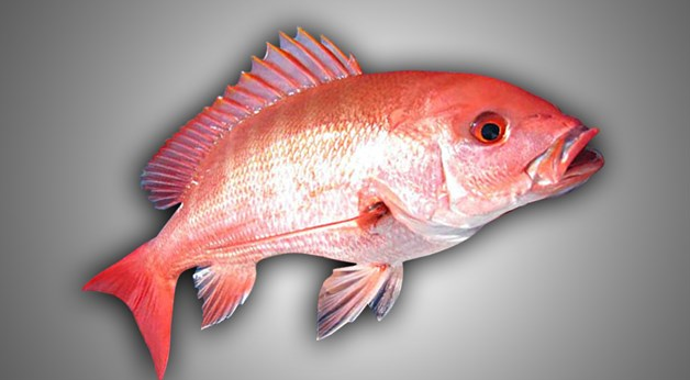 Government sets 9-day red snapper season in Gulf of Mexico
