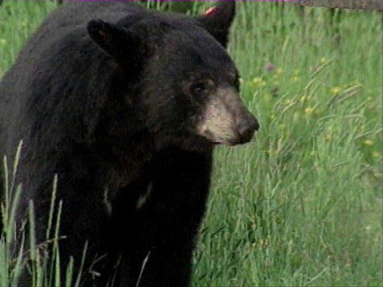File photo of black bear. Courtesy of MGN Online