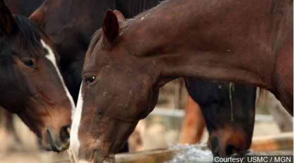 File photo of horses. Courtesy USMC MGN Online