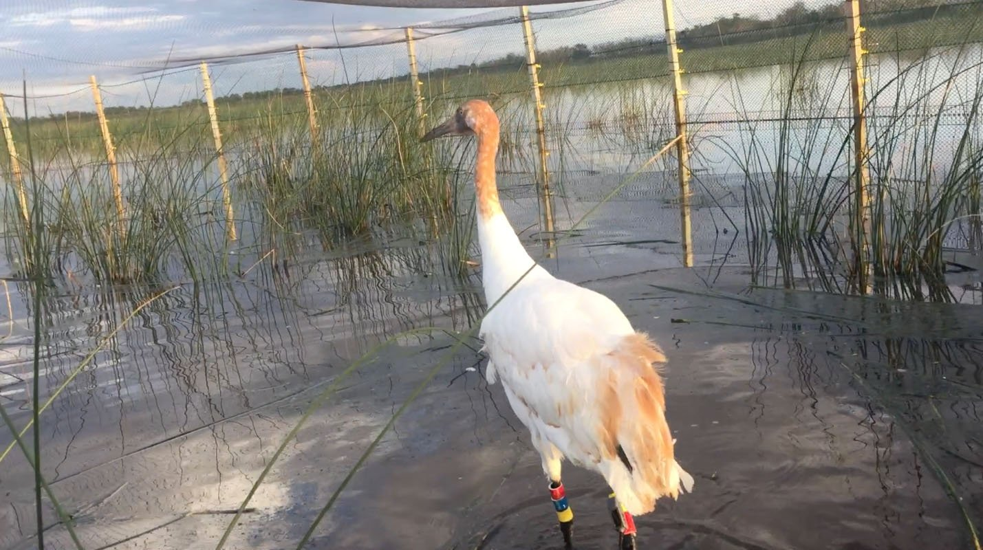 File image of Whooping Cranes in Louisiana / Courtesy of the Department of Wildlife and Fisheries