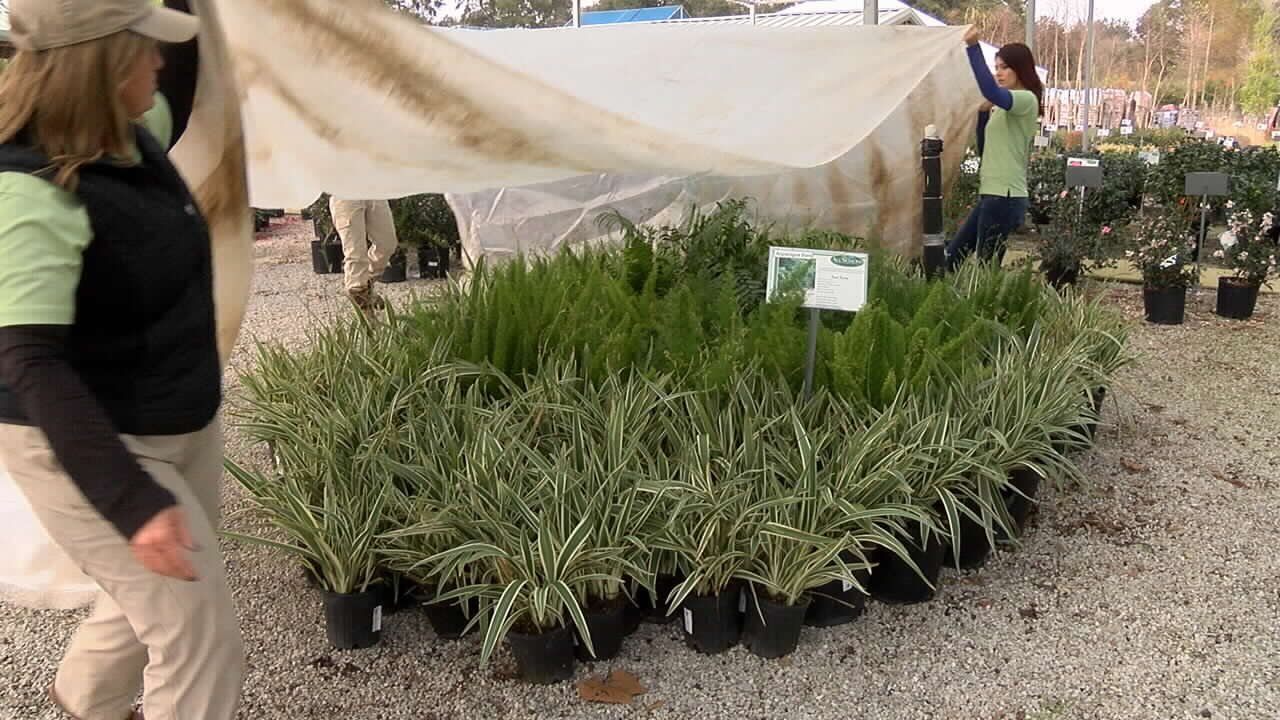 When the temperatures drop, it is important to cover tropical plants.