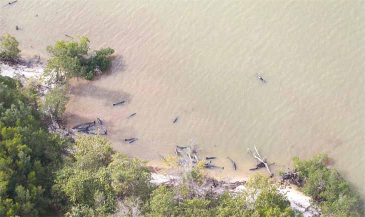 False Killer Whales Die After Mass Stranding Off Florida Coast