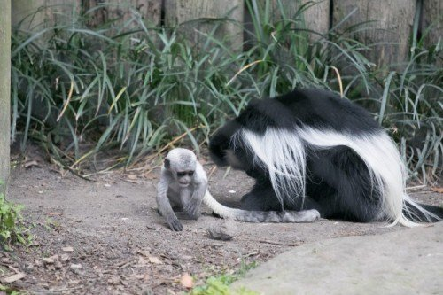 A colobus baby was born on March 13, 2017 to Mandeesa (mother) and Kivuli (father). / Courtesy of The Audubon Nature Institute