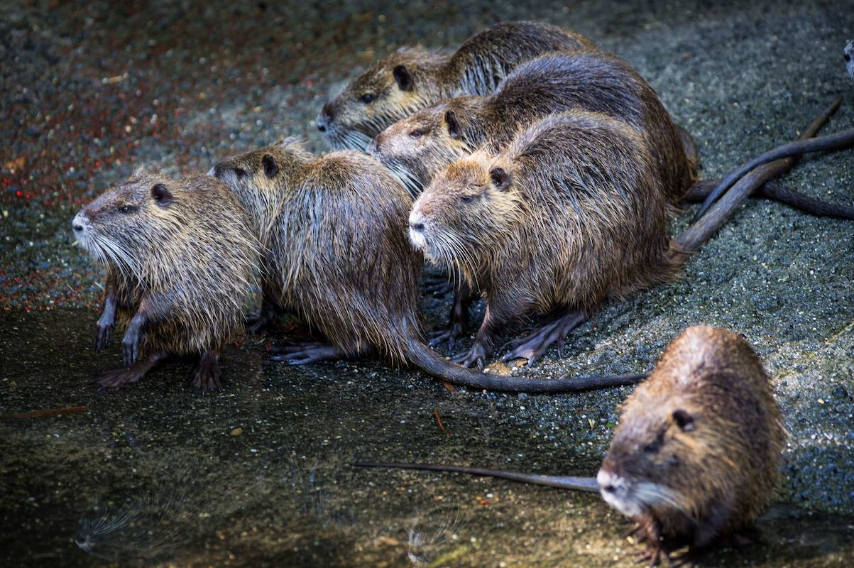 Nutria rats / Courtesy: Audubon Nature Institute