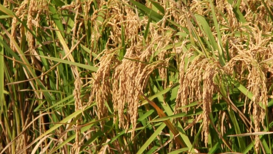U.S. and China sign long-awaited rice protocol