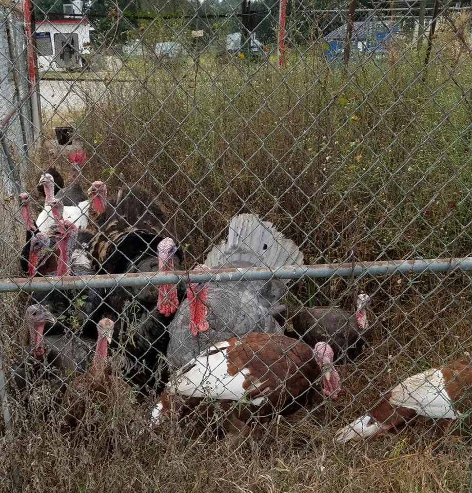 Turkeys in Parks, LA / St. Martin Parish Sheriff's Office