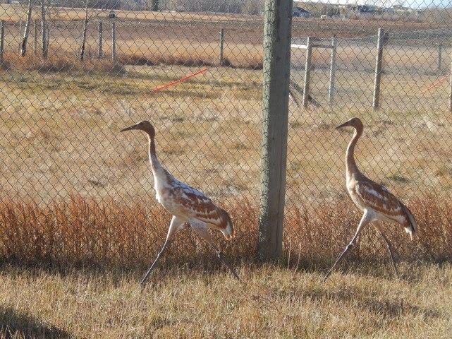 Whooping Cranes / LDWF