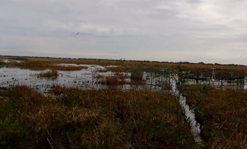 Photo: LDWF Whooping Cranes Facebook Page