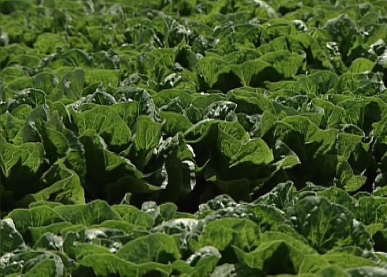 CDC: Romaine lettuce may be behind E. coli outbreak