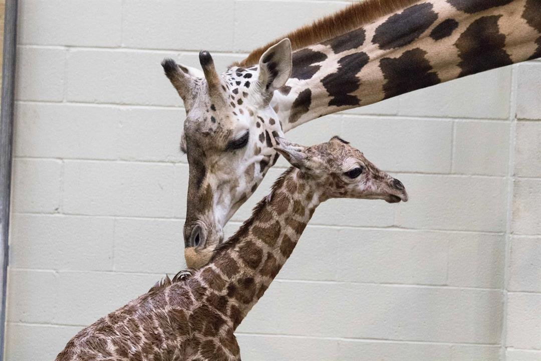 A 6-foot-tall male reticulated giraffe calf arrived on the morning of January 9 at the West Bank campus of the Freeport-McMoRan Audubon Species Survival Center. / Audubon Institute