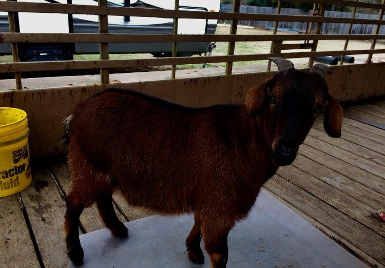 Rowdy the Goat / Caddo Parish Sheriff's Office