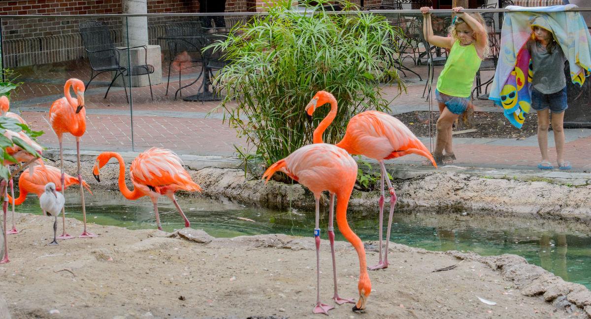 Audubon Zoo welcomes newborn flamingo to its animal kingdom / The Advocate