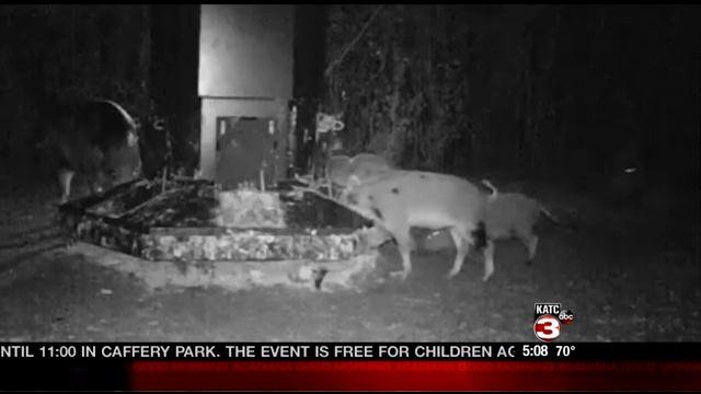 An LSU AgCenter study found feral hogs caused more than $30 million in damage to Louisiana crops in 2013.
