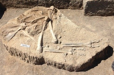 7-MILLION-YEAR-OLD CAMEL